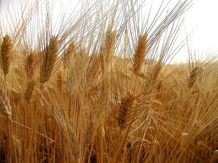 La Credenza Significato : I riti della mietitura e lo spirito del grano