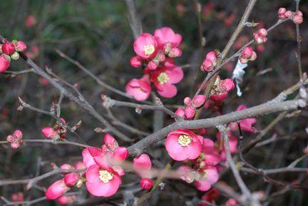 fiori di prugno