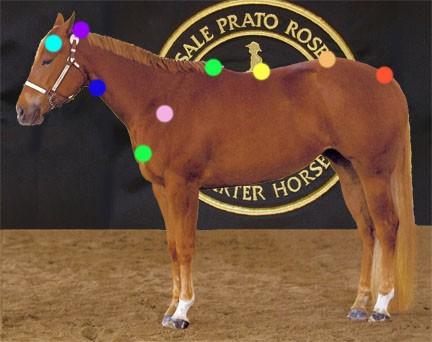 Sistema energetico del cavallo