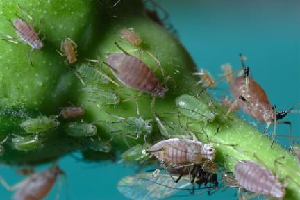 I parassiti delle piante d 39 appartamento gli afidi for Parassiti piante