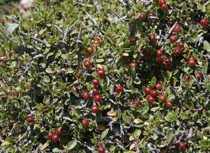 L 39 alaterno pianta spontanea della macchia mediterranea for Nomi di alberi sempreverdi