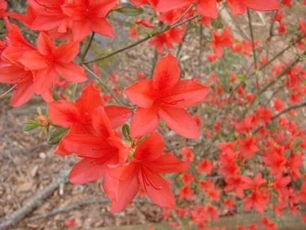 Arriva la copiosa fioritura primaverile dell 39 azalea - Malattie azalea da esterno ...