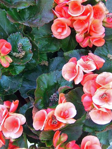 Begonia pianta annuale o perenne da fiore for Begonia pianta