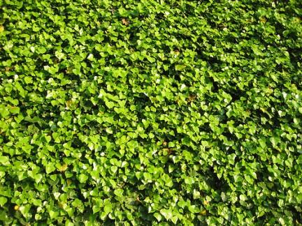 Piante ornamentali l 39 edera for Piante rampicanti ornamentali