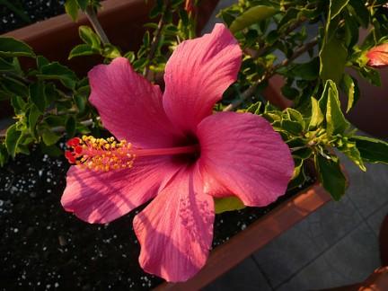 Hibiscus pianta ornamentale for Ibisco in inverno