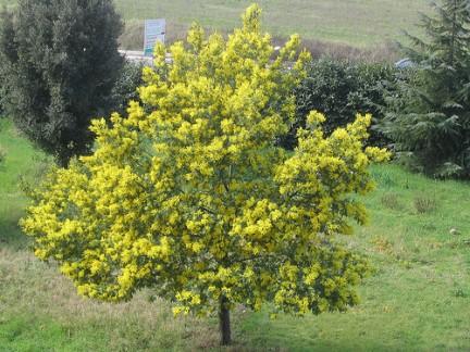 La pianta ornamentale della mimosa ovvero l 39 acacia dealbata for Acacia albero
