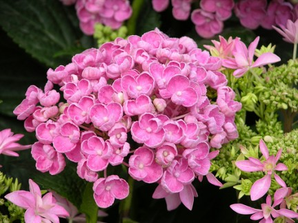 Ortensia hydrangea for Ortensia in vaso