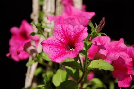 Petunia for Petunie perenni