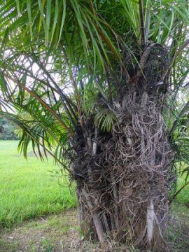 Una pianta da record la palma di raffia for Pianta palma