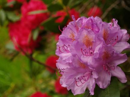 Rhododendron coltivazione e cura del rododendro for Rododendro pianta