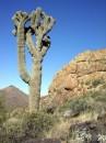 cactus giganti del deserto