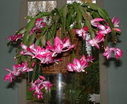 Schlumbergera bella pianta d 39 appartamento - Piante fiorite da appartamento ...