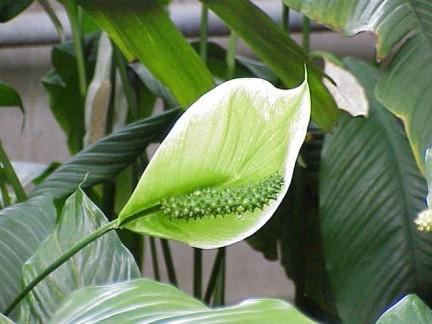 Piante Tropicali Da Appartamento.Spathiphyllum Elegante Tropicale Da Appartamento