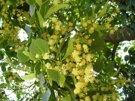 Tilia cordata for Tiglio albero