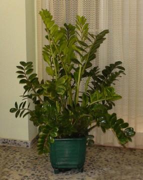 Zamioculcas zamilifolia for Pianta zamioculcas