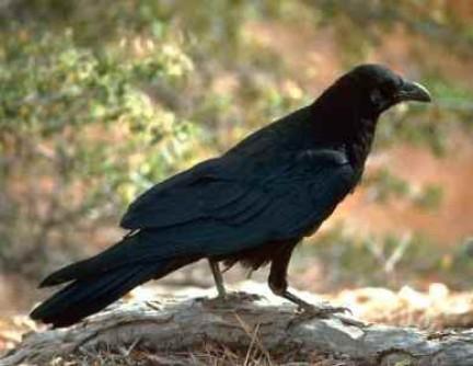 corvo sogni