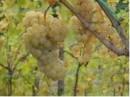 Graoppolo d'uva dell'azienda Draga