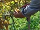 raccolta uva Azienda Draga