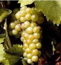Grappolo d'uva Moscato d'Asti