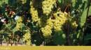 Grappolo d'uva Moscato Reale al 10 Luglio