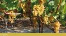 Grappolo d'uva Moscato Reale al 15 Agosto