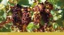 Grappolo d'uva Moscato Reale al 15 Ottobre