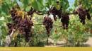Grappolo d'uva Moscato Reale al 30 Ottobre