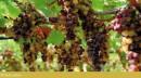 Grappolo d'uva Moscato Reale al 30 Settembre