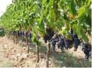Grappoli d'uva su vigne della Tenuta Ornellaia