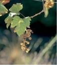 Grappolo d'uva Picolit