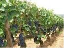 Filare Pinot Nero