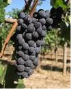 Grappolo Pinot Nero