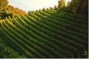 Vista dall'alto vigneto Pinot Nero