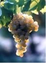 Grappolo di uva Nosiola