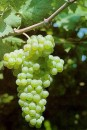 Grappolo d'uva Vermentino