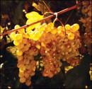 Grappolo d'uva Vermentino dorata