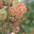 Grappolo d'uva Vermentino ambrata