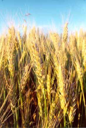 Il grano for Da dove proviene il grano della barilla