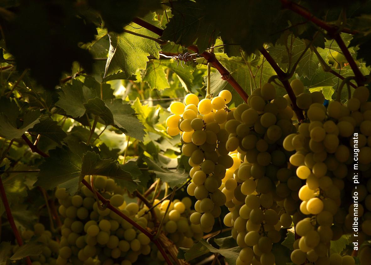 Op per l 39 uva da tavola di sicilia - Uva da tavola di mazzarrone ...