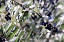 ramo con olive nere