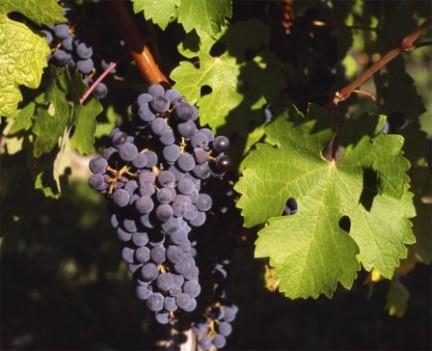 L 39 uva da tavola pugliese - Uva da tavola precoce ...