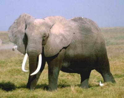 elefante sogni