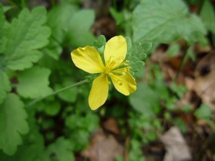 fiori gialli per verruche