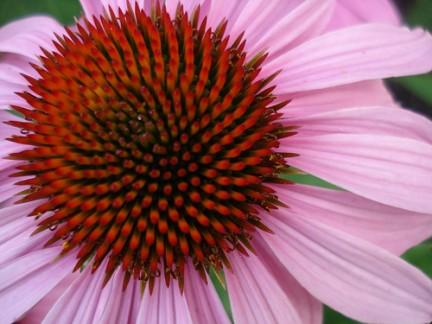 echinacea aumenta le difese immunitarie