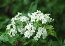 Foglie, fiori e frutti del biancopino, pianta per l'ipertensione