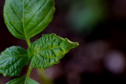 perilla frutescens contro infiammazioni e allergie