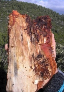 parassita delle pinete garganiche