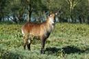Antilope d'acqua