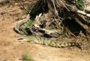 Coccodrillo del nilo vicino al Mara river