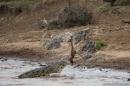 coccodrillo e gazzella